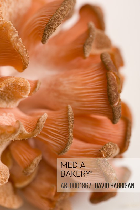 Extreme close up of a pink oyster mushroom