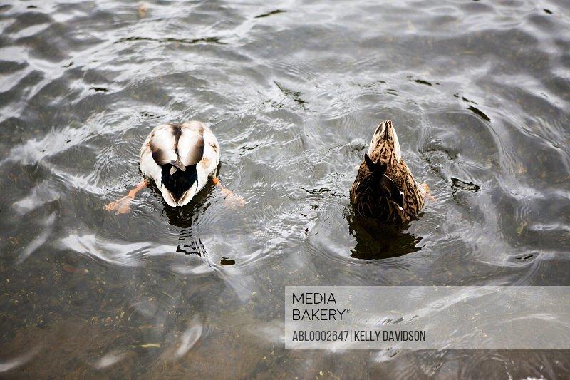 Ducks Diving