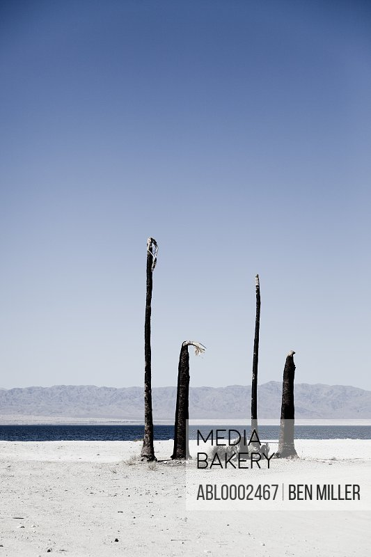 Leafless Palm Trees by Lakeshore