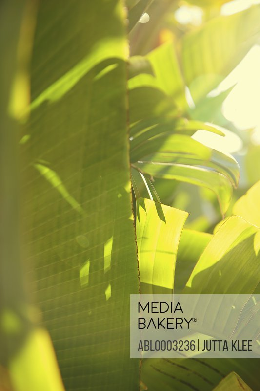 Palm Leaves, Full Frame