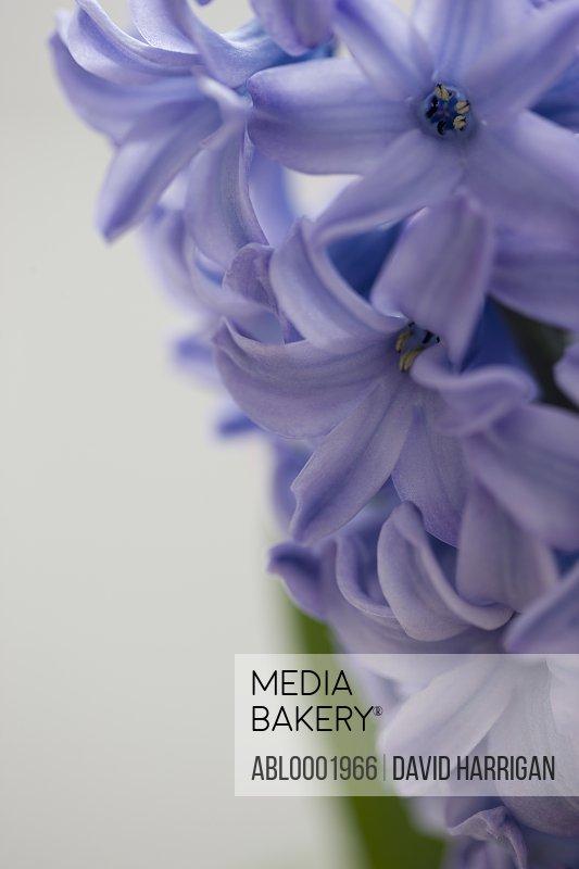 Detail of a purple hyacinth, Hyacinthus orientalis