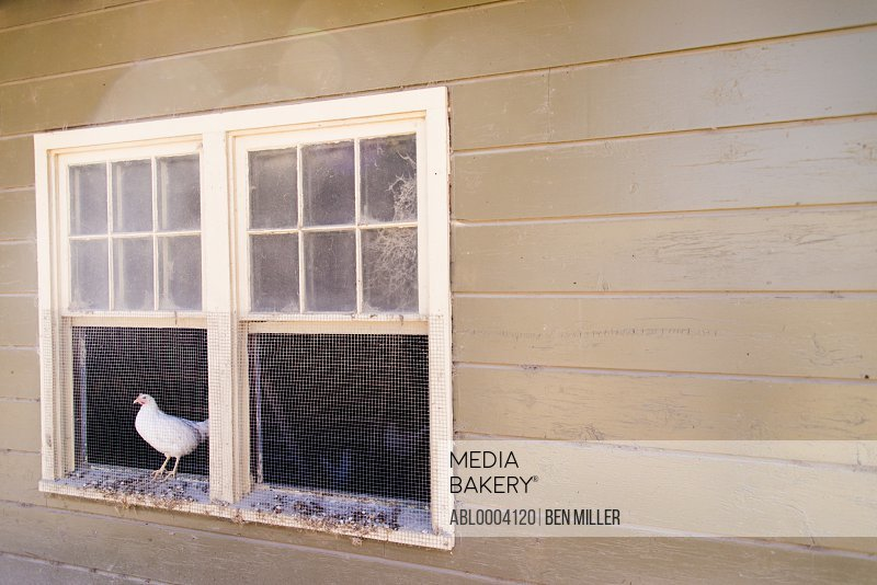 Chicken Standing on Henhouse Window