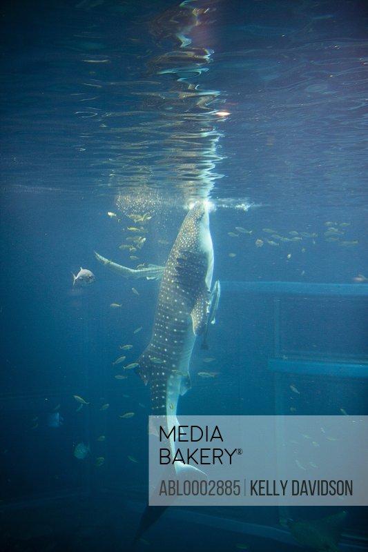Whale Shark in Aquarium Tank