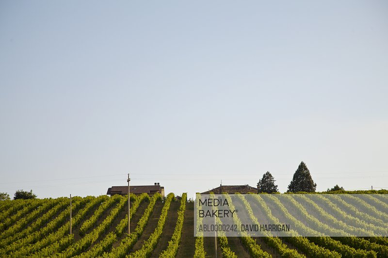 Vineyard field and blue sky