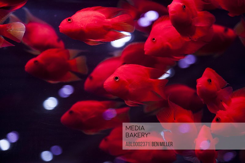 Shoal of Purple Parrot Fish