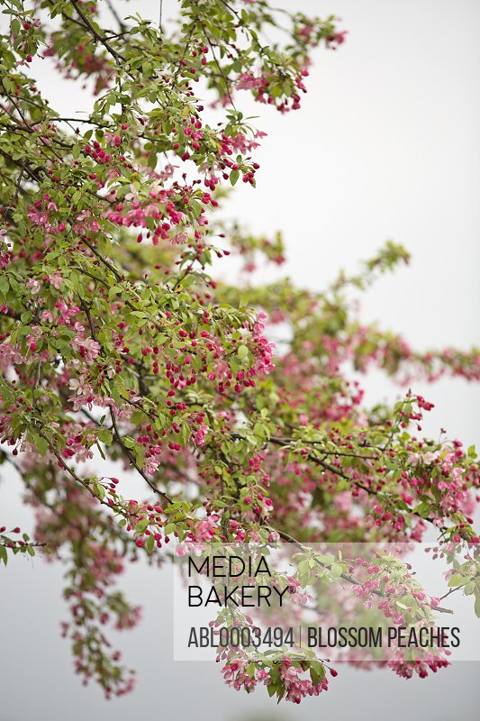 Red Buds Flowers on Tree Branch