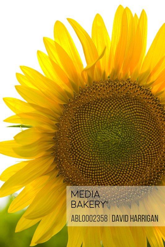 Sunflower, Close-up view