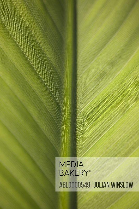Extreme close up of banana leaf (genus Musa)