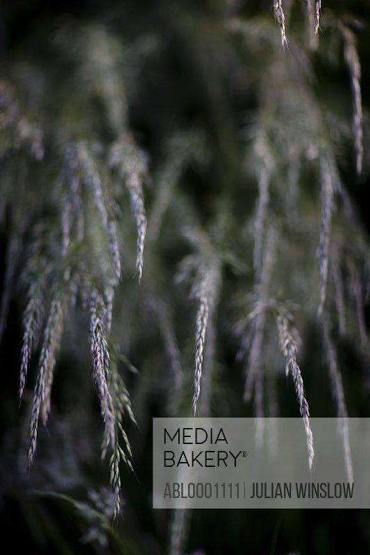 Close up of couch grass - Elytrigia repens