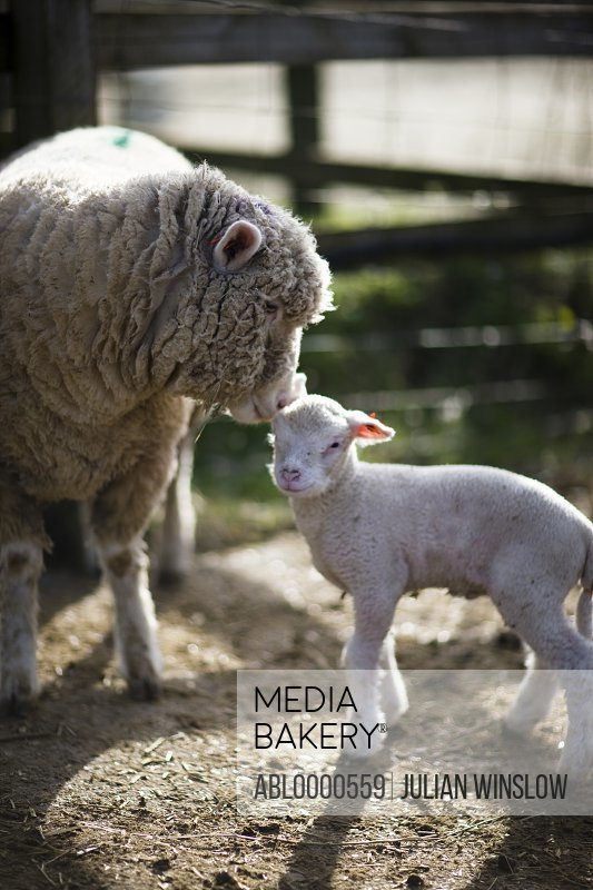 Mother sheep touching lamb with head