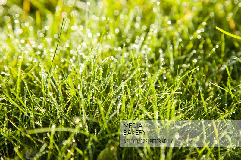 Grass Blades and Dew Drops, Close up view
