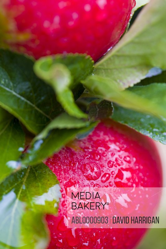 Extreme close up of pink lady apples - Cripps pink