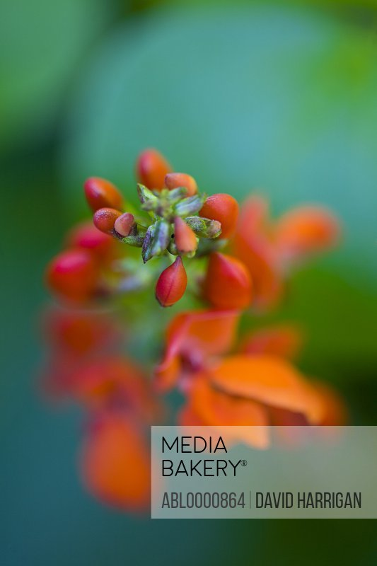 Close up of a scarlet runner bean flower - Phaseolus coccineus