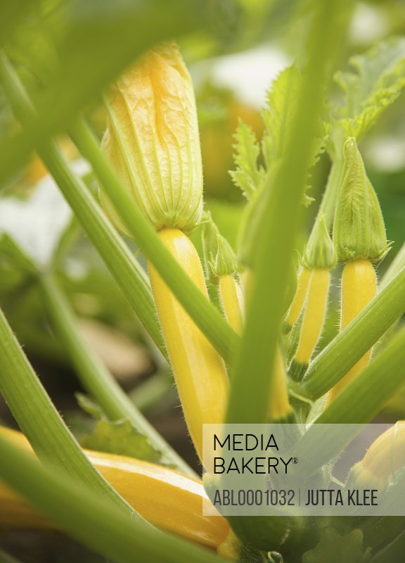 Baby yellow zucchini and stalks