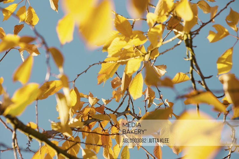 Tree Branches with Autumn Yellow Leaves against Blue Sky
