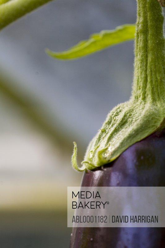 Extreme close up of an aubergine -Solanum melongena