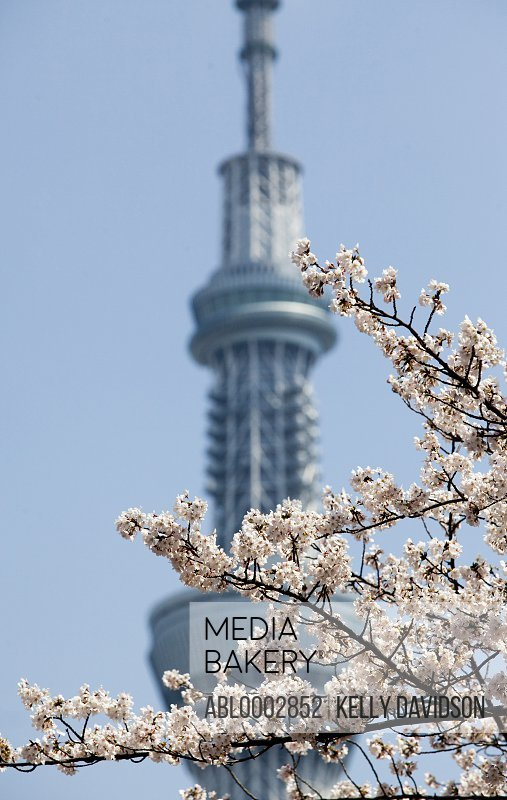 Cherry Blossom against Sky Tree Tower, Tokyo, Japan