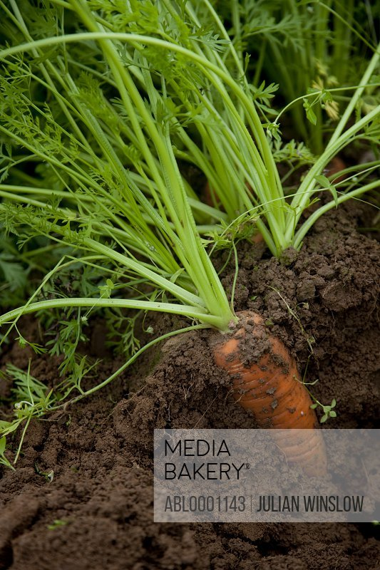 Close up of a carrot covered in soil