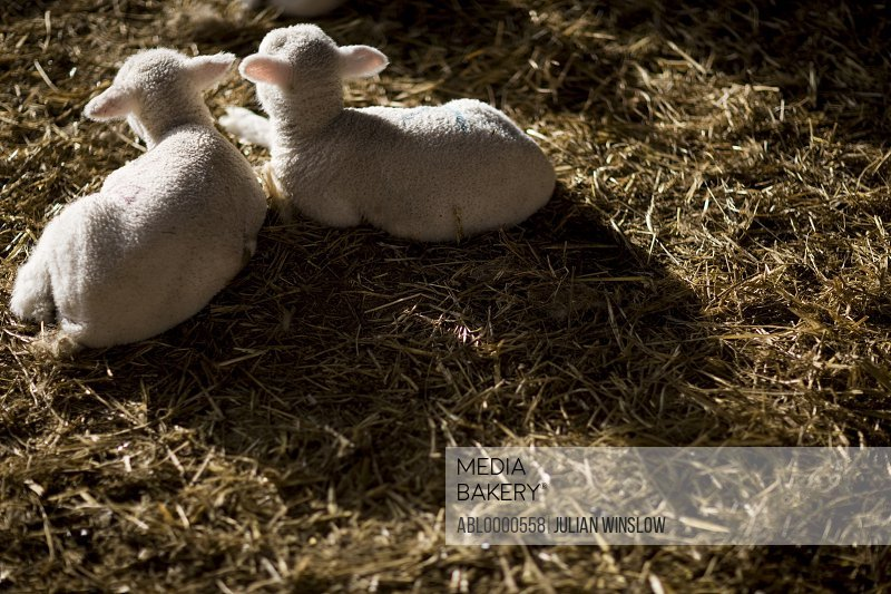 Two lambs lying on straw