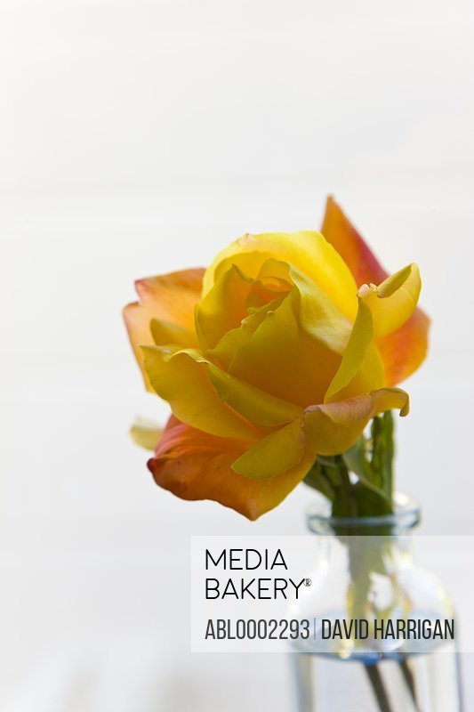 Yellow Rose in Glass Bottle