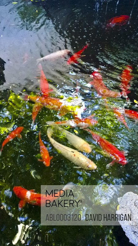 Red and Yellow Goldfish Swimming in Pond