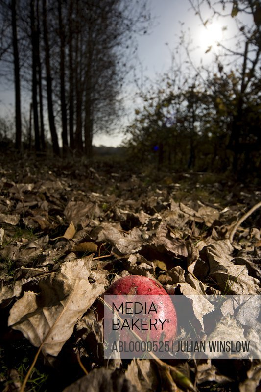 Solitary red apple on ground with dry leaves