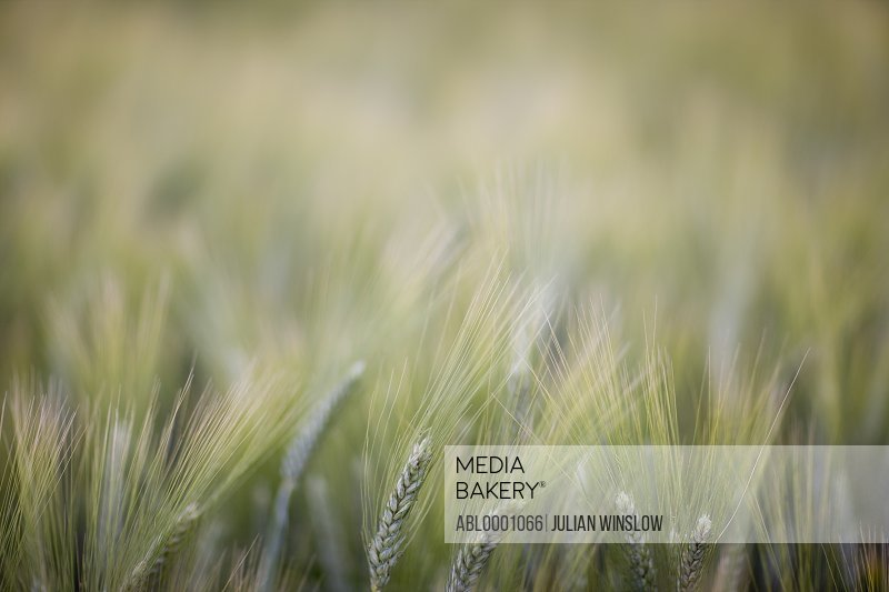 Close up of unripe wheat stalks