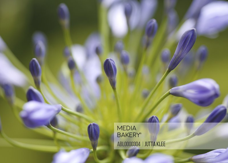 Close up of blue agapanthus