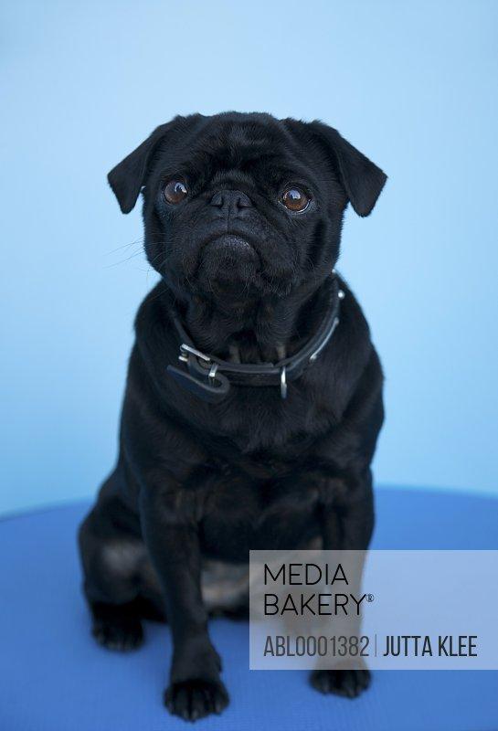 Portrait of a black pug sitting