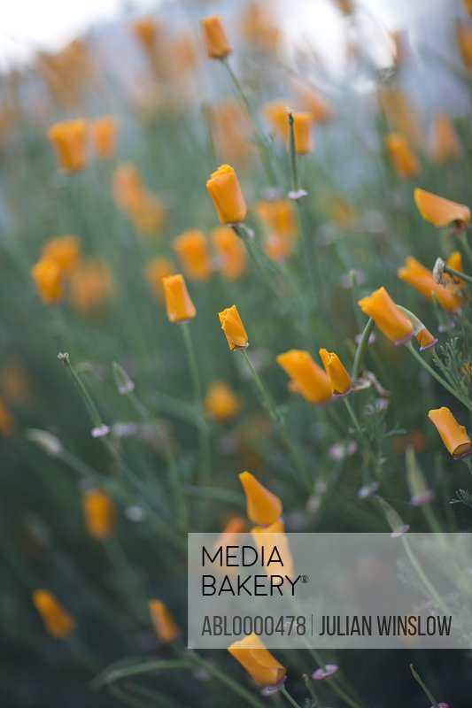 Californian poppy orange blossom
