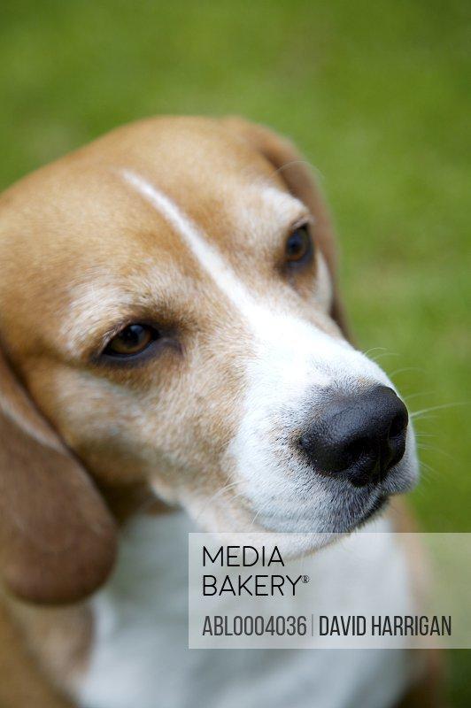 Close up of tricolor Beagle  hound dog