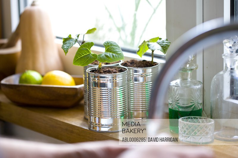 Recyclable tin cans with bean seedlings on a kitchen window sill