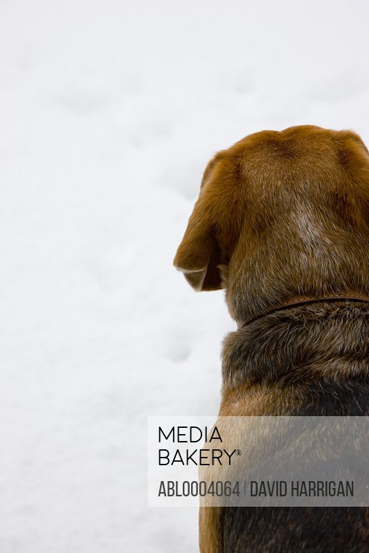 Back view of a beagle's head