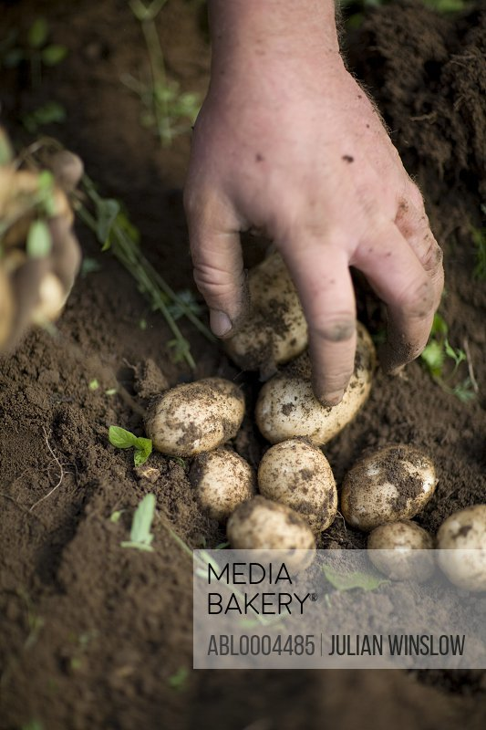 Close up of farmer's hands picking new potatoes