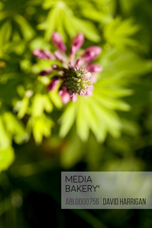 Pink lupin blossom and leaves