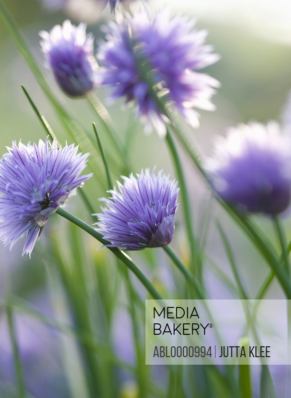 Chives in blossom