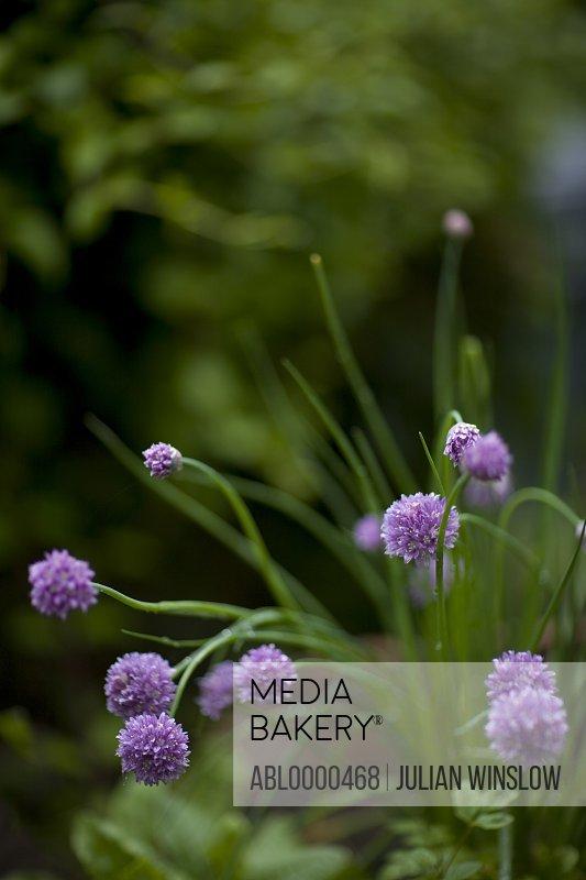 Light purple chives flowers