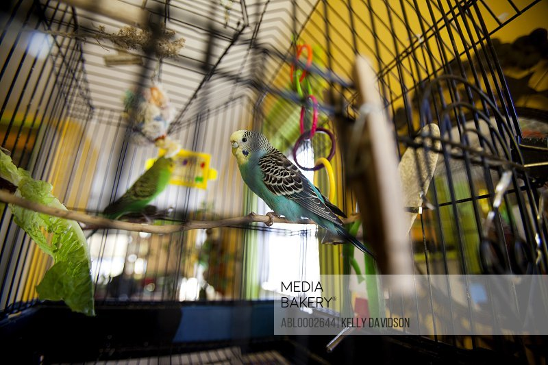 Budgerigars in Cage
