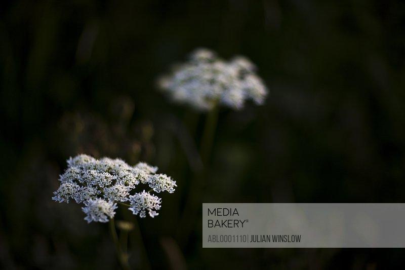 White hogweed flowers - Heracleum