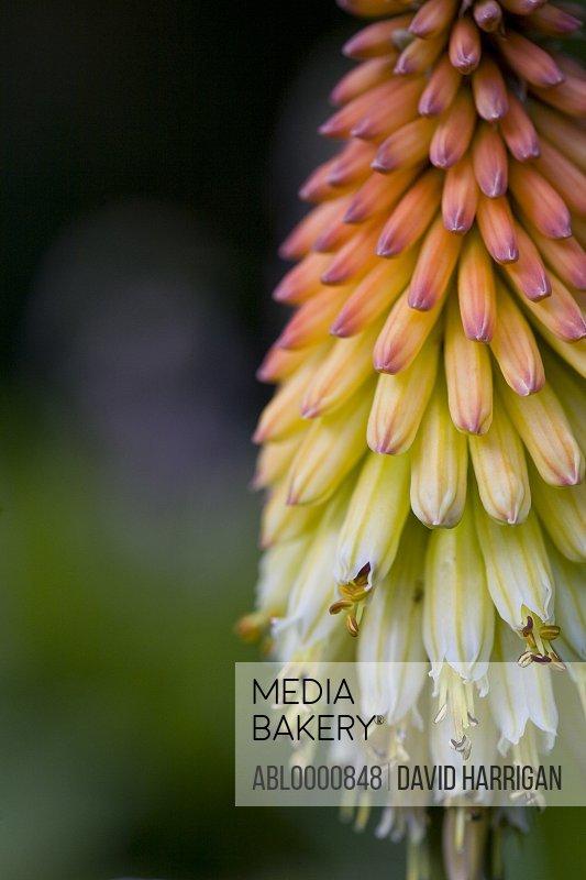 Red hot pocker flower - Kniphofia uvaria