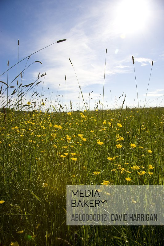 Meadow grass with yellow flowers and blue sky
