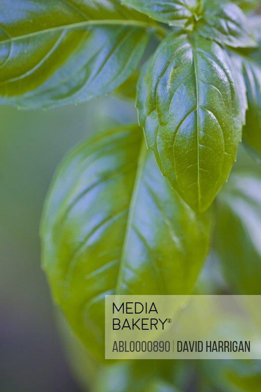 Extreme close up of basil leaves - Ocimum basilicum