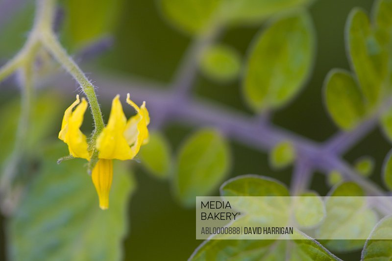 Close up of a yellow tomato flower and leaves
