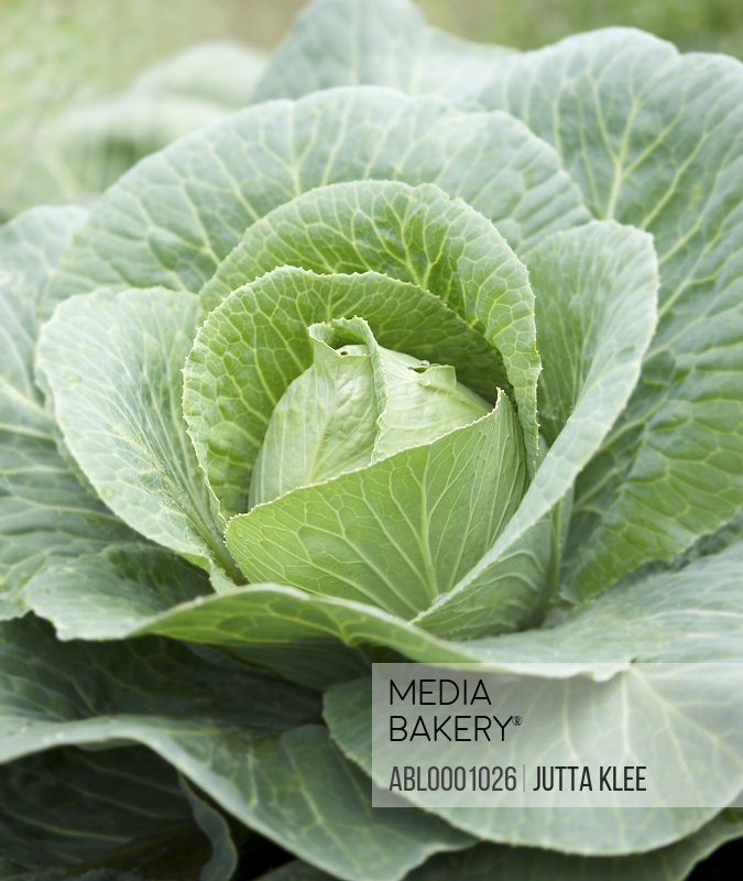 Close up of a savoy cabbage