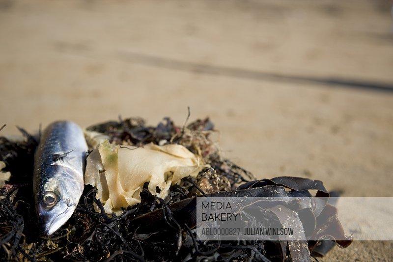 Dead fish lying on seaweed