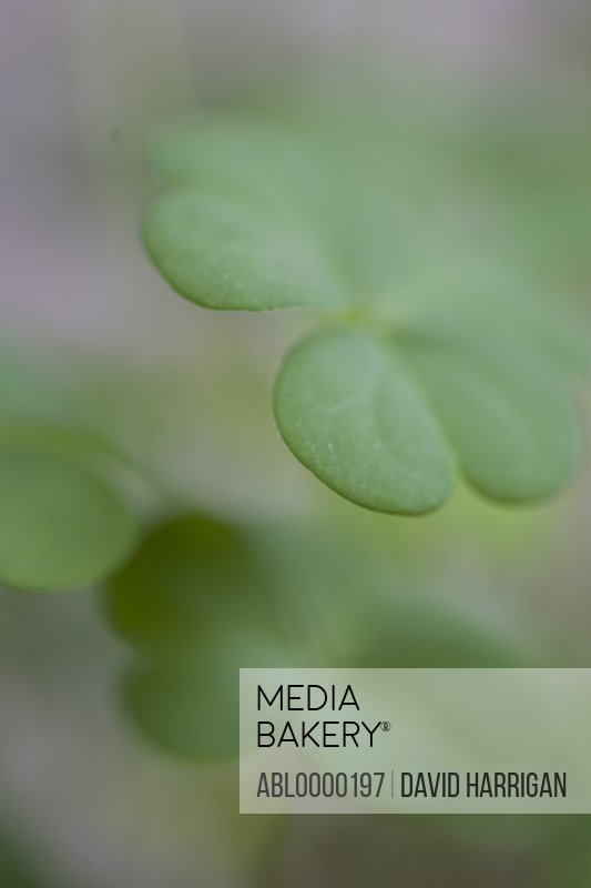 Close up of clovers