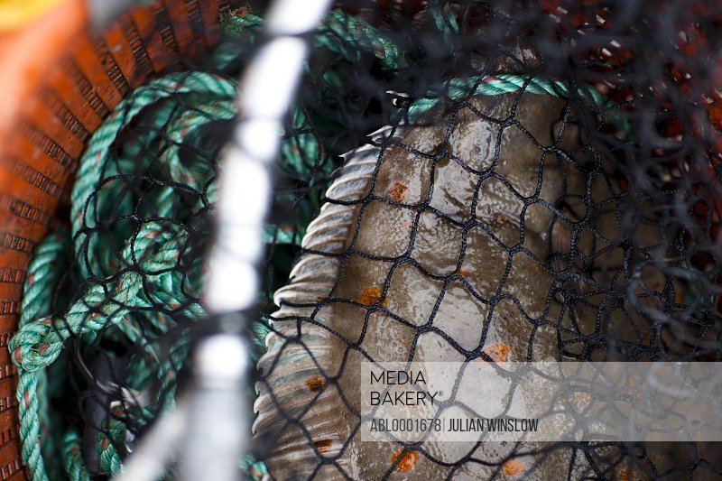 Extreme close up of a plaice in a fishing net