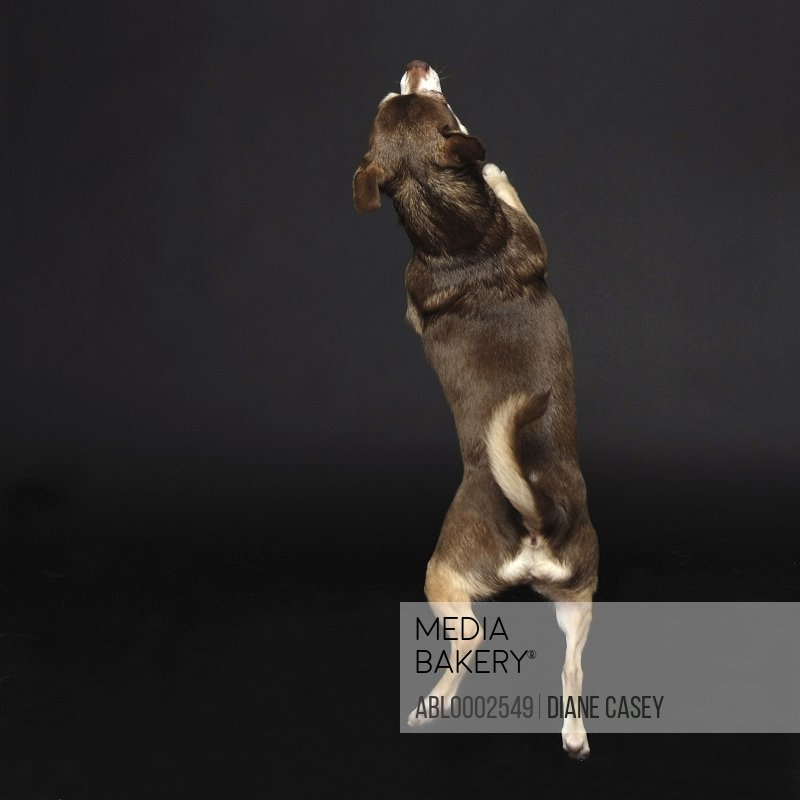 Back View of Chihuahua Standing on Hind Legs
