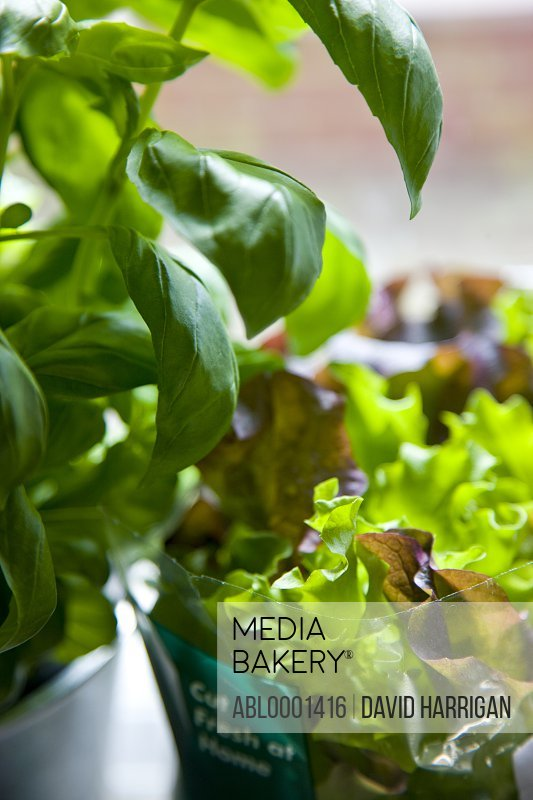 Close up of basil and lettuce leaves
