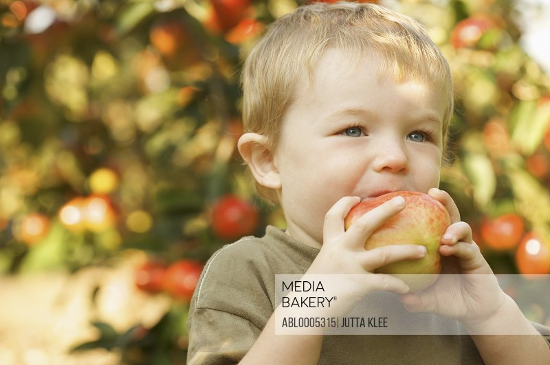 Close up of boy standing in an apple orchard biting an apple
